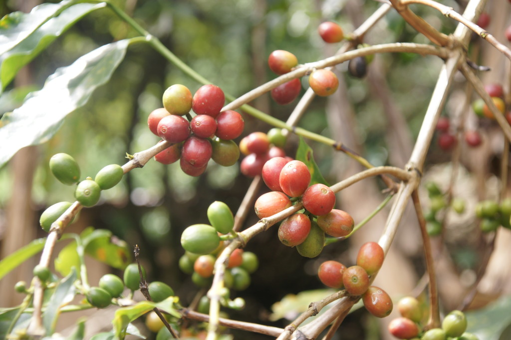 100% Arabica coffee beans, grown in Quillabamba, Peru!