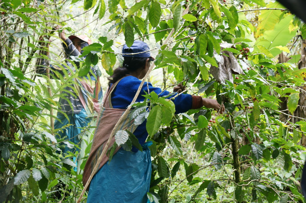 A local worker picks the ready coffee beans.