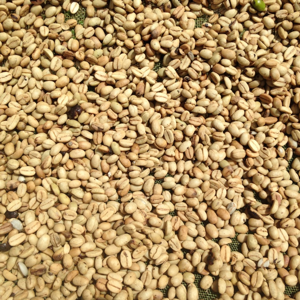 Coffee beans, nearly dried after a week of sitting out.