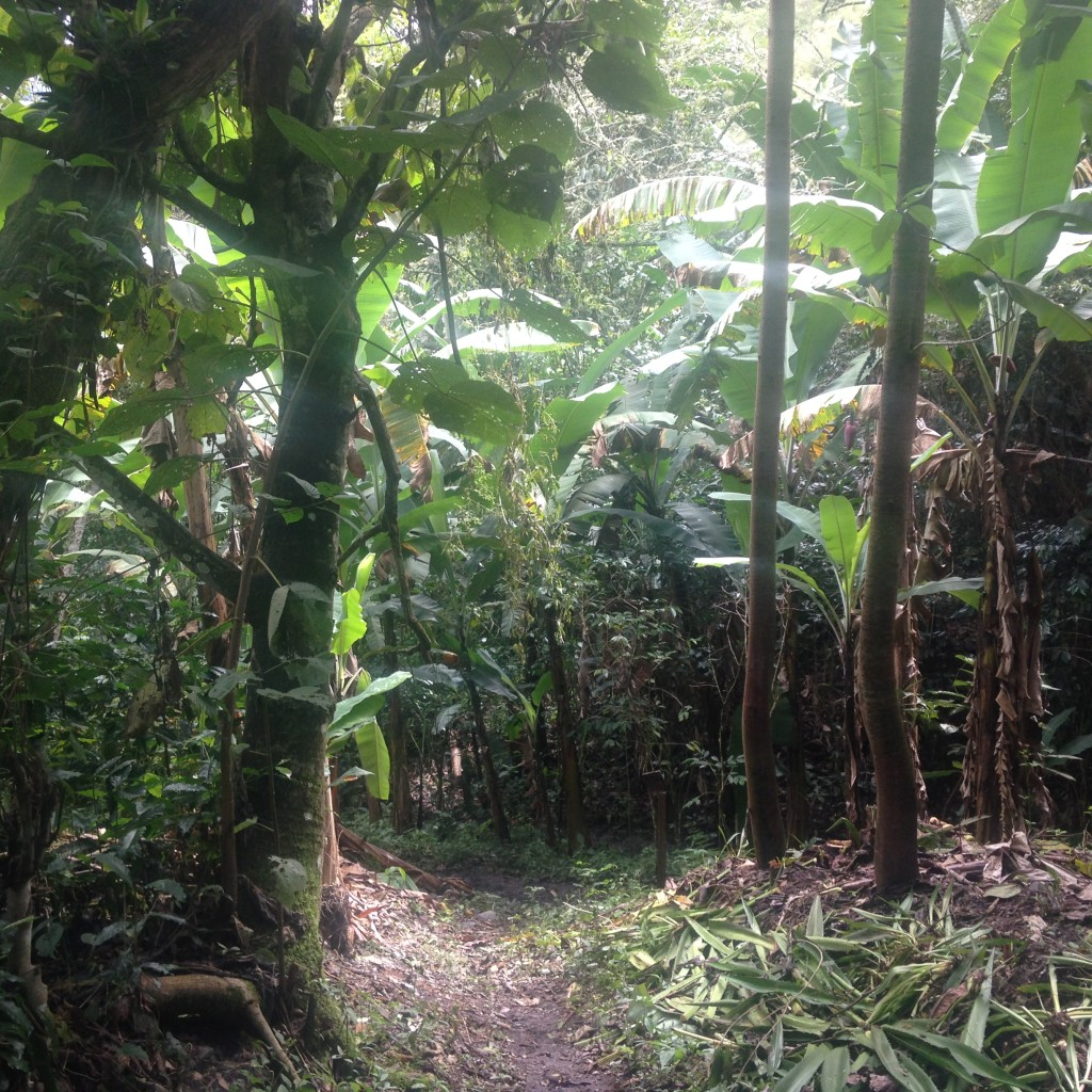 A shot of the path leading to the coffee farm.