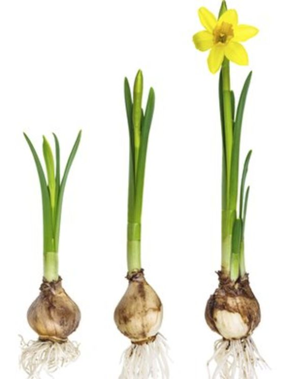 Jorge pulled the daffodil in the middle stage, without the flower. Just when it looks exactly like a green onion.